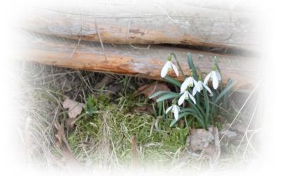 Vårens fina snödroppar..
