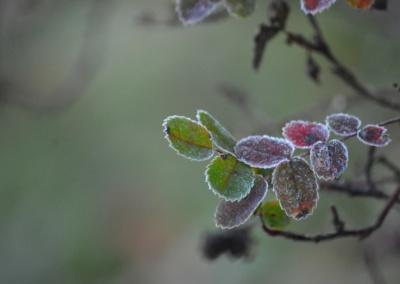 frostiga rosblad